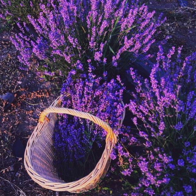 lavender-festival-provence-5